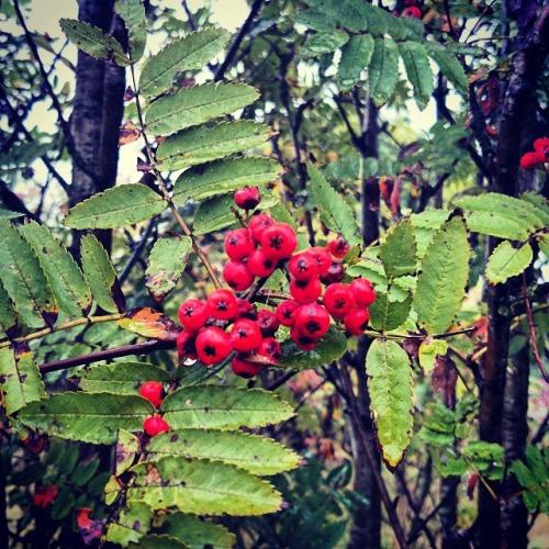Rowan Berry - Caorunn